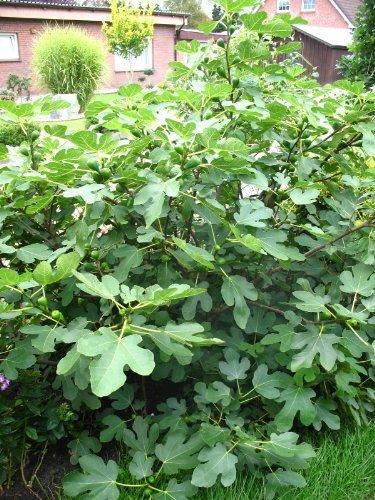 winterharte eßbare Feige, Ficus carica...