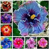 200 semi di ibisco gigante Dinnerplate Hibiscus / perenne fiore / Enorme 10-12 pollici di fiore a giardino di casa di piantagione colori misti
