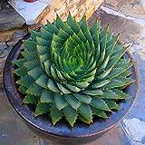 Kisshes Seeds- Semillas de Aloe Vera Semillas de Hierbas Raras Bonsai Cosméticos Plantas Suculentas Jardín de Semillas