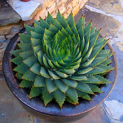 Cioler 100pcs Aloe Vera Samen seltene Kräuter Sukkulenten Samen Saatgut Einfache Bepflanzung Balkon Terrasse Topfblumensamen