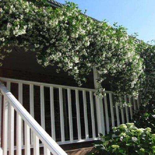 18 X Immergrüne Kletterpflanzen (Clematis & Efeu) für eine 2 meter 100% Sichtschutz Hecke (blickdicht)   ClematisOnline