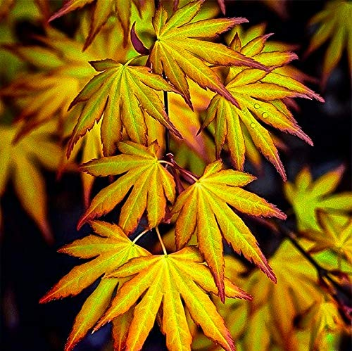 Acer Palmatum 'Katsura' - Japanese Maple 25-35cm in Height - Autumn Colour