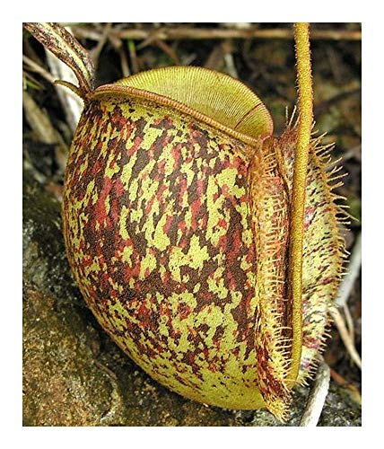 Nepenthes ampullaria tricolor - Kannenpflanze - 10 Samen
