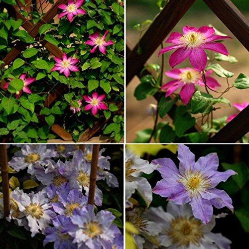BigFamily Clématite Graines De Fleurs Clématites Graines Belle Couleur Mixte 100 pcs/Sac Living Garden Fournitures