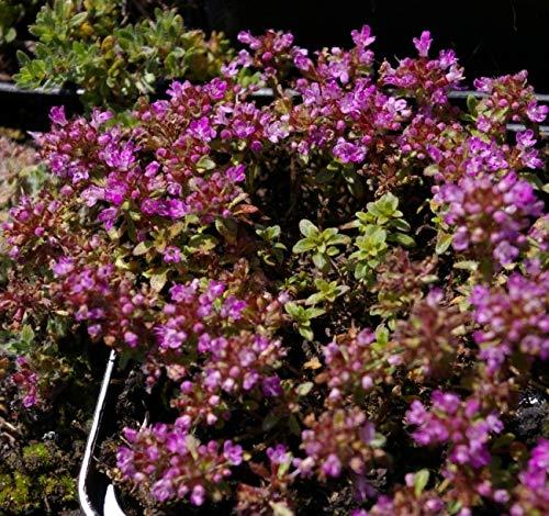 Thymus pseudolanuginosus - Grauer...