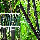 100PCS Negro Semillas de bambú Phyllostachys Nigra Bonsai Las semillas del jardín de macetas...
