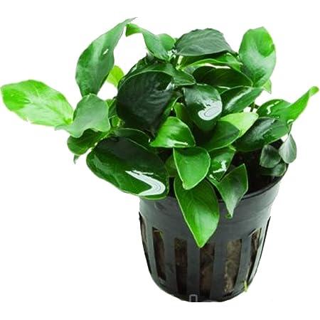 Anubias petite 25~35 leaves - Live aquaric plant fish tank(The plant pot excluded)No pesticides