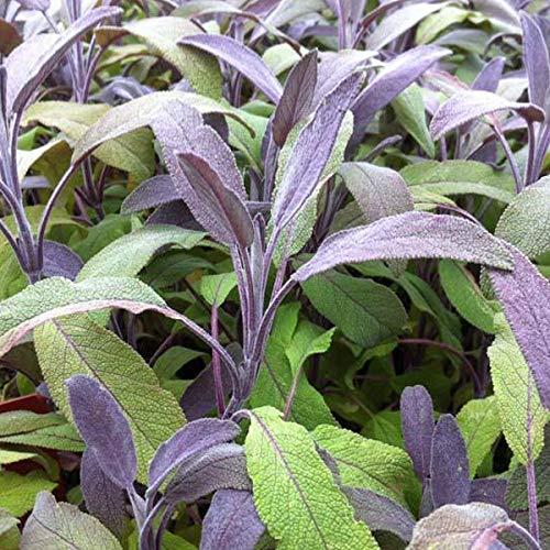 6 x Salvia Officinalis 'Tricolor' - Salbei Tricolor Kleincontainer 9cm x 9cm