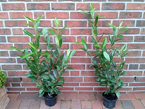 10 Kirschlorbeer Pflanzen, Höhe: 60-70...