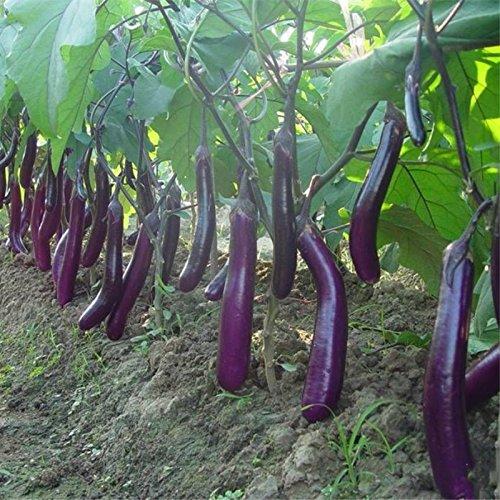 100pcs graines d'aubergine blanc long fruits asiatiques et graines végétales plante taux élevé de germination pour plantes à domicile et jardin facile à cultiver 2
