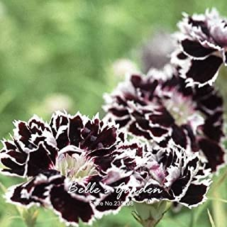 Rosaceae Plants Flowers Pelleted Seeds 50pcs Dianthus chinensis heddewigii 'Black and White Minstrels' Seeds Hardy Plant Flower Seeds Bonsai Home Potted Plant