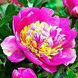 Peonias Plantas de exterior Peonias bulbos Jardin flores Peonias rosas 1x Rizoma Peonia Mr GF Hemerik