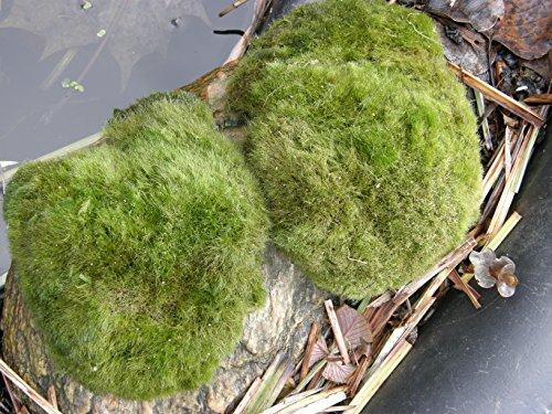 Mühlan – 5 x winterharter Teichrasen, jede Matte mind. 5×7 cm, Gegen Algen und Schmutz, Unterwassergras, Moos, Begrünung des Teichrandes, Unterwasserrasen - 3