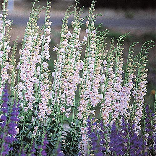 Penstemon palmeri A. Gray – Palmer's penstemon, 100mg Seeds for Planting, Open Pollinated, Heirloom, Non-GMO, Figwort Family, beardtongue, Scrophulariaceae