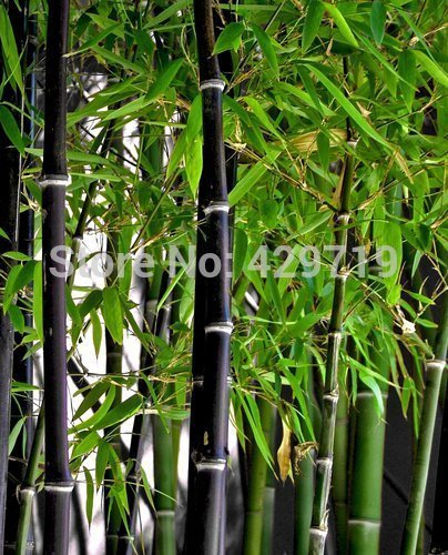 Neuf. 20 graines de bambou Rare géant Noir MOSO en bambou Bambu Graines Professional Lot Bambusa Lako Arbre Graines pour Home Garden