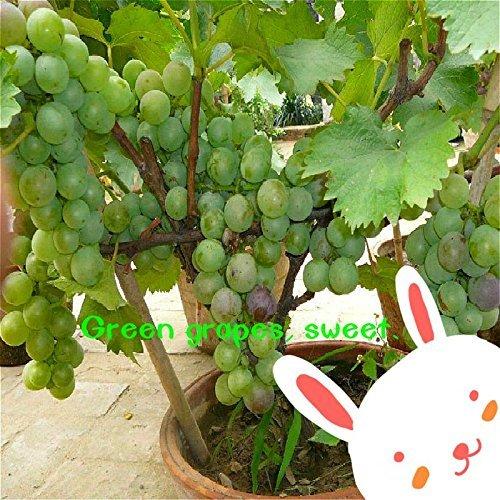 Vente en gros Graines de raisin sucré délicieux fruits et légumes Graines Plantes Bonsaï Pour Mini Garden Courtyard 20 Pcs/Pack. Jaune