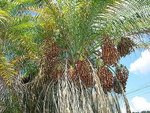 Zwergdattelpalme Phoenix roebelenii Pflanze 25-30cm Zwerg-Dattelpalme Palme