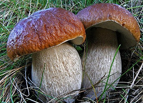 Re Fungo Porcino (Boletus betulicola) micelio Spawn semi essiccati (10g)