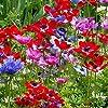 Humphreys Garden Anemone De Caen x 200 Bulbs bulbi da fiore Size 3/4 #2