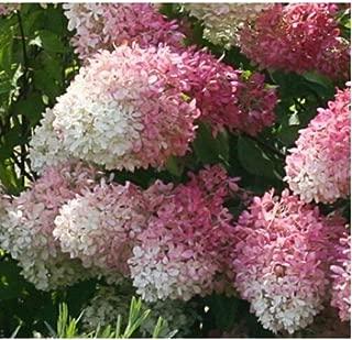 Hydrangea Paniculata 'Smnhprzep Zinfin Doll' Starter Plant DP01