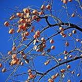 30 semillas de caqui plantadas en jardín al aire libre, árbol frutal perenne fuerte no necesita mucho cuidado, puede cosechar frutas llenas