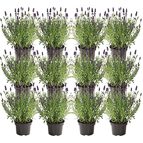 UNUS Garden Echter Lavendel Pflanze...
