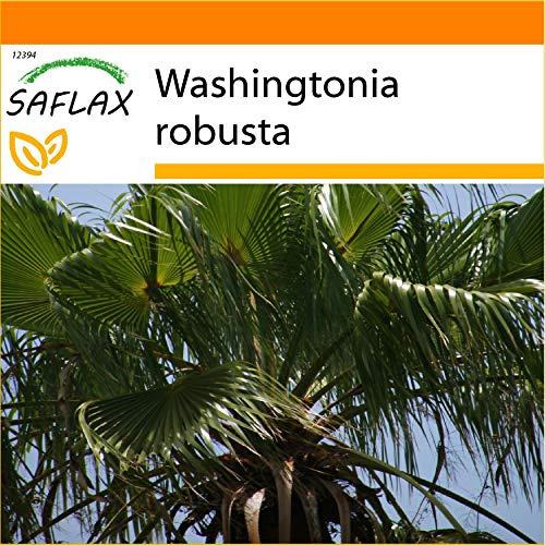 SAFLAX - Jardin dans le sac - Palmier éventail - 12 graines - Washingtonia robusta