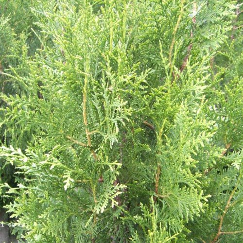 50 Stück Thuja occidentalis - (Abendländischer Lebensbaum)- Wurzelware 40-70 cm