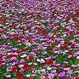 Bulbi da Fiore ALTA QUALITA' per fioritura PRIMAVERILE (25, Anemone DE CAEN)...