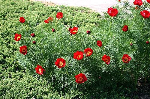 VISA STORE 5 Samen von Paeonia Tenuifolia Blatt Peony Reds