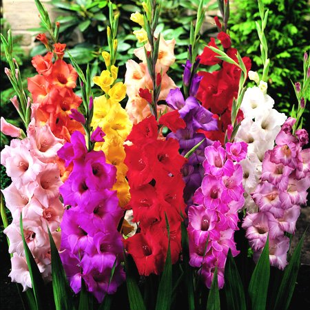 Mixed Gladiolus Flower Bulbs - 50 Bulbs Assorted Colors