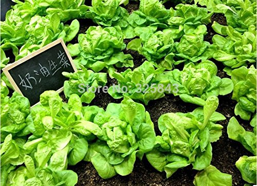 SVI Nouvelles variétés nutritives de chinois géant Shallot géant d'oignon de graines de légumes Graines de légumes Jardin 100 pcs