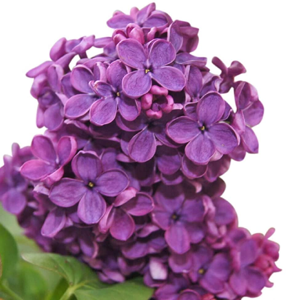 Congo Lilac Tree Seeds UPC 600188195996 + 1 Free Plant Marker (20)
