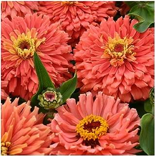 David's Garden Seeds Flower Zinnia Mixed Colors Cactus Senora SL7877 (Salmon) 50 Non-GMO, Open Pollinated Seeds