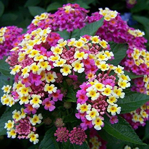 New Arrival. 100PCS/LOT Wandelröschen Blumen Samen, seltene Mehrjährige Kräuter Gorgeous Bonsai Baum Pflanze für Home Garten Getopfte Samen Show In Picture 3