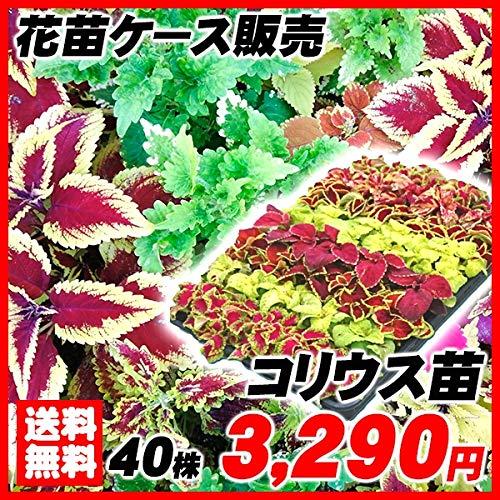 国華園 花苗 コリウスケース販売 1ケース40株入り /21年春商品