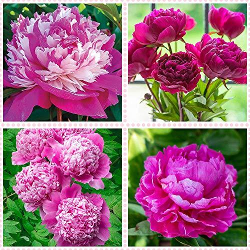 Peonías bulbo,Bonsai de bulbo de peonía de 3 colores raro (no semilla) planta en maceta de vacaciones, bricolaje para el jardín de su casa,-1bulbos,1