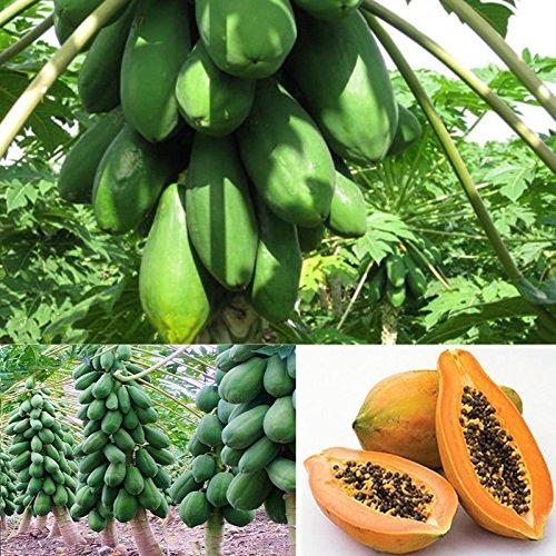 Dewin Papaya Samen - Maradol Papaya Obstbaum Pflanzen Bio-Samen, Hausgarten, Balkon, 8St