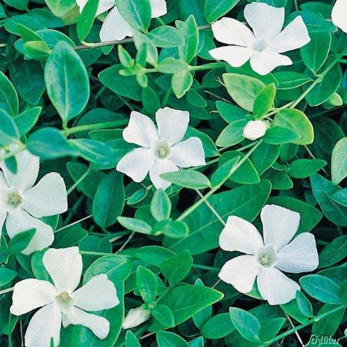 Vinca minor 'Alba' - Weißes Immergrün 'Alba' - Bodendecker mit weißen Blüten: unverwüstlich, winterhart - 1 Pflanze im Topfballen von Garten Schlüter - Pflanzen in Top Qualität