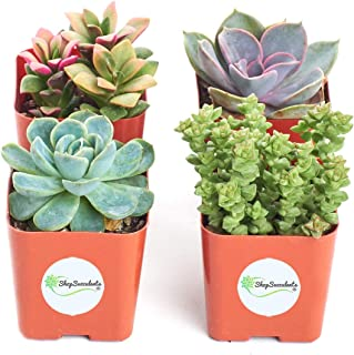 Shop Succulents | Unique Collection of Live Succulent Plants, Hand Selected Variety Pack of Mini Succulents | Collection of 4