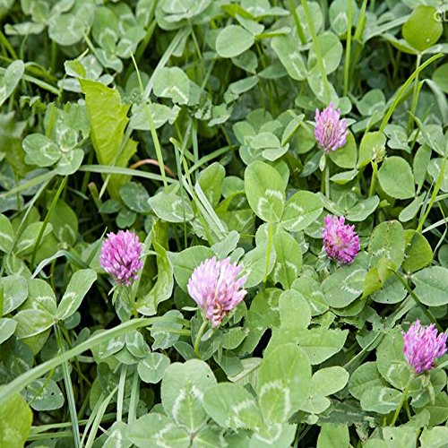 Graines New Arrivée Trifolium Repens Rouge néerlandaise Clover Seeds Four Leaf Clover pour plantes maison de jardin Livraison gratuite 100g / Paquet