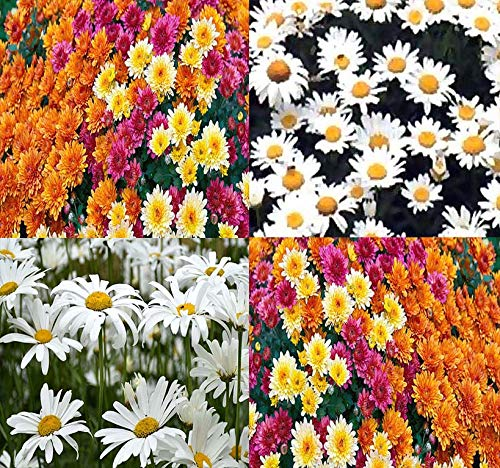 Big Pack - Chrysanthemum Species Mixed Seed (10,000+ Seeds) - Contains Painted Daisy, Garland Daisy, Ox-Eye Daisy, Alaska and Silver- Edible Flower Seeds by MySeeds.Co (Big Pack - Chrysanthemum Mix)
