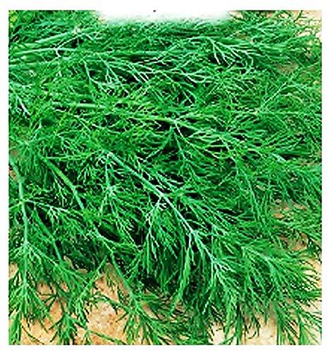 Semillas de eneldo - verduras - anethum graveolens - aproximadamente 1000 semillas - las mejores semillas de plantas - flores - frutas raras - eneldo - idea de regalo original - excelente calidad