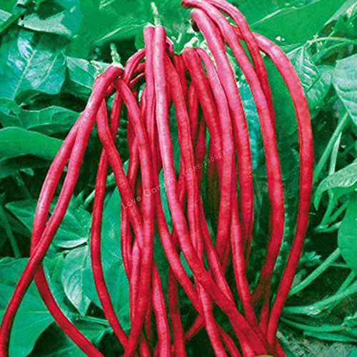 10 PCS longue Bean Vigna unguiculata graines de niébé serpent Semences des haricots Mini Garden longues graines de haricots Facile à cultiver 2