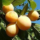 Ciruelo Amarillo - Maceta 26cm. - Altura aprox. 1'20m. - Planta viva - (Envíos sólo...