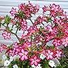 Graines de fleurs, 100 Pcs / sac Graine d'Adenium Obesum Non-OGM Facile à cultiver Type mixte Adenium Obesum Graines de rose du désert pour jardin pour cadeau de fleurs de jardinage idéal #5