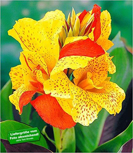 BALDUR Garten Canna Cleopatra, 3 Knollen Canna Indica Indisches Blumenrohr