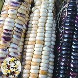 C-LARSS 1 Bolsa De Semillas De Maíz, Semillas De Hortalizas De Mazorca De Maíz, Maíz Rústico Ligero, Fácil De Producir Para El Jardín Color mixto Semillas de maiz