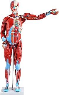 Miniatuur Musculair Systeemmodel - Menselijk Muscle Model - 80cm Menselijke spieren Anatomie Model die oppervlakkige spier...