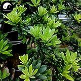 Kaufen großblättrige steineibe Baumsamen 40pcs Pflanze Zhen Zhu Luo Han Song